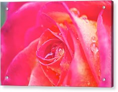 Early Morning Rose Acrylic Print by Ashley Balkan
