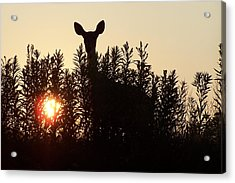 Early Morning Visitor Acrylic Print by Laurie Prentice