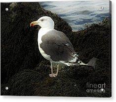 East Coast Herring Seagull Acrylic Print