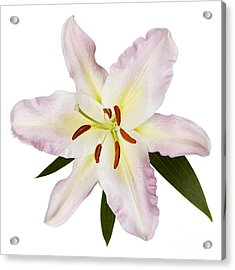 Easter Lilly 1 Acrylic Print