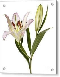 Easter Lilly Acrylic Print