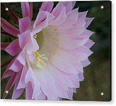 Easter Lily Cactus East Acrylic Print