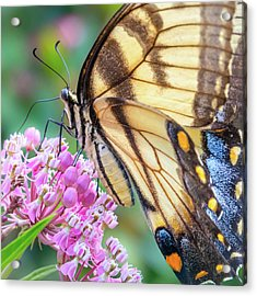 Easter Tiger Swallowtail Butterfly Acrylic Print by Jim Hughes