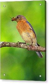 Easterm Bluebird With Skipper Butterfly In Beak Acrylic Print by Alan Lenk