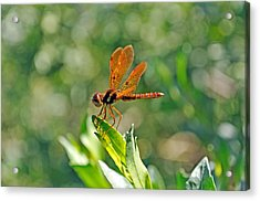 Eastern Amber Wing Dragonfly Acrylic Print by Kenneth Albin