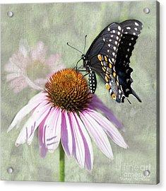Eastern Black Swallowtail And Echinacea  Acrylic Print