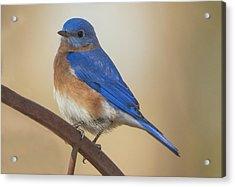 Eastern Blue Bird Male Acrylic Print