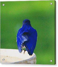 Eastern Bluebird. #birds #birding Acrylic Print by Heidi Hermes