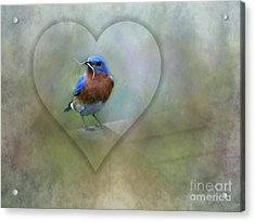 Eastern Bluebird Acrylic Print by Brenda Bostic
