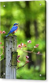 Eastern Bluebird Acrylic Print by Christina Rollo