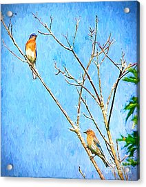 Eastern Bluebird Couple Acrylic Print