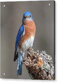 Eastern Bluebird Dsb0300 Acrylic Print