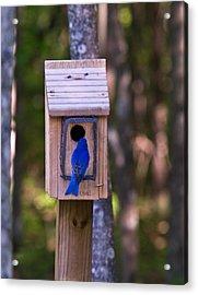 Eastern Bluebird Entering Home Acrylic Print by Douglas Barnett