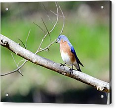 Eastern Bluebird Acrylic Print by George Randy Bass