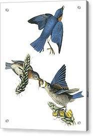Eastern Bluebird Acrylic Print by John James Audubon