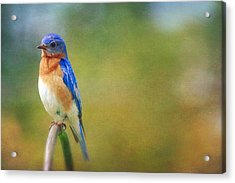 Acrylic Print featuring the photograph Eastern Bluebird Painted Effect by Heidi Hermes