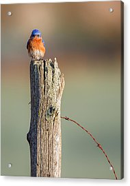 Acrylic Print featuring the photograph Eastern Bluebird Portrait by Bill Wakeley