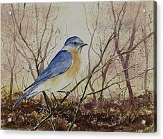 Eastern Bluebird Acrylic Print by Sam Sidders