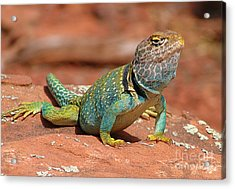 Eastern Collared Lizard Acrylic Print