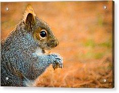 Eastern Gray Squirrel Acrylic Print by Bob Orsillo