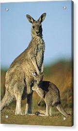 Eastern Grey Kangaroo And Her Joey Acrylic Print by Ingo Arndt