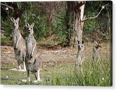 Eastern Grey Kangaroo Family Acrylic Print by Roo Printz