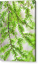 Acrylic Print featuring the photograph Eastern Hemlock Tree Abstract by Christina Rollo