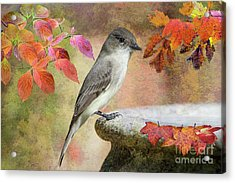 Eastern Phoebe In Autumn Acrylic Print by Bonnie Barry