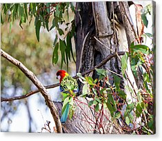 Eastern Rosella - Canberra - Australia Acrylic Print by Steven Ralser