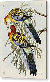 Eastern Rosella Acrylic Print by John Gould