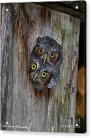 Eastern Screech Owl Chicks Acrylic Print