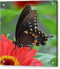 Acrylic Print featuring the photograph Eastern Swallowtail by Penni D'Aulerio