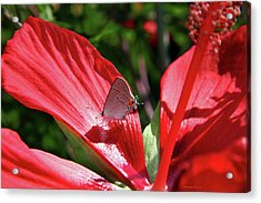 Eastern Tailed Blue Butterfly On Red Flower Acrylic Print by Inspirational Photo Creations Audrey Woods