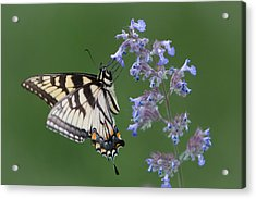 Eastern Tiger Swallowtail Profile Acrylic Print by Patti Deters