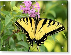 Eastern Tiger Swallowtail Butterfly Acrylic Print by Sheila Brown