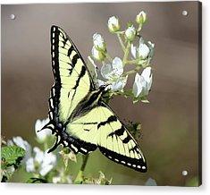 Eastern Tiger Swallowtail Female Acrylic Print