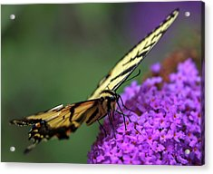 Acrylic Print featuring the photograph Eastern Tiger Swallowtail by Juergen Roth