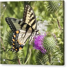 Eastern Tiger Swallowtail Acrylic Print by Ricky L Jones