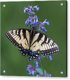 Eastern Tiger Swallowtail Wingspan Acrylic Print