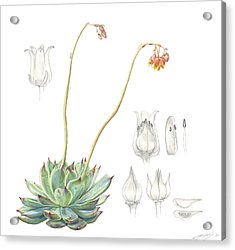 Echeveria Spp. Acrylic Print