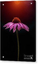 Echinacea And Sun Acrylic Print