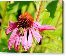 Echinacea Bee Acrylic Print