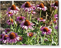 Acrylic Print featuring the photograph Echinacea by Cynthia Powell