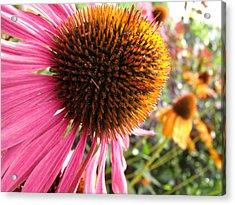 Echinacea Garden Acrylic Print by Nicole I Hamilton