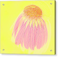 Acrylic Print featuring the photograph Echinacea In Pink by Linde Townsend