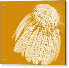 Echinacea Acrylic Print by Linde Townsend