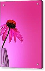 Ecinacea Pink Acrylic Print by Mark Rogan