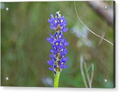 Edible Pickerel Weed Acrylic Print
