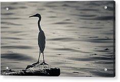 Egret At Lake Chapala Acrylic Print by Dane Strom