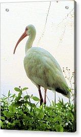 Egret At The Lake Acrylic Print by Diane Ferguson